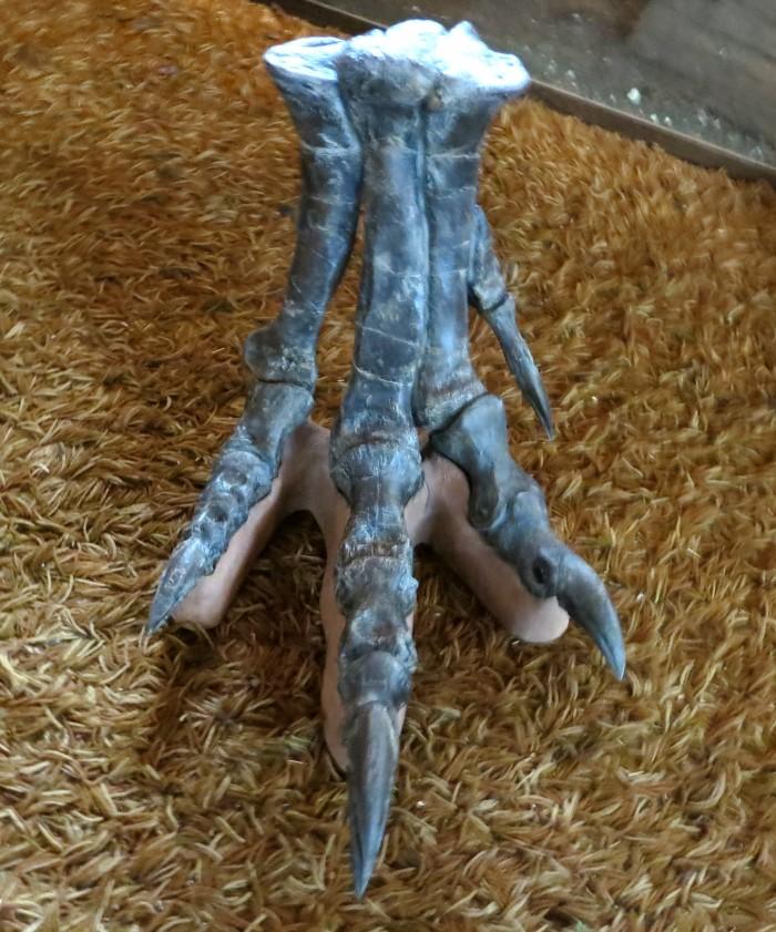 Allosaurus-skeletal-foot