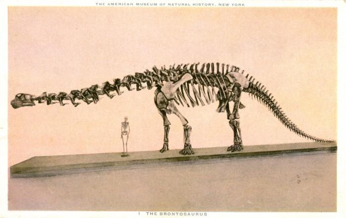 Apatosaurus skeleton