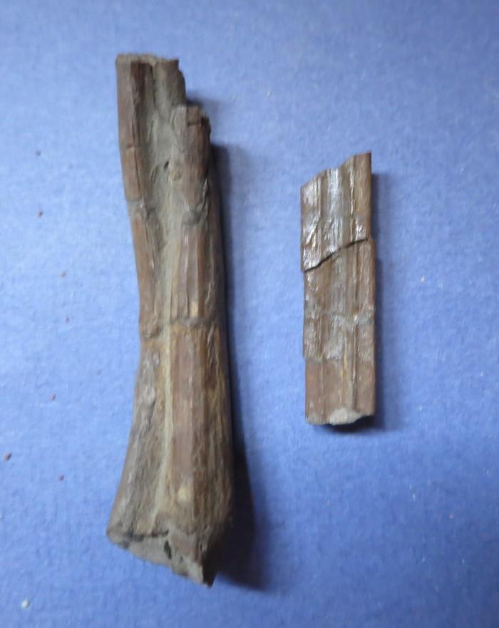 Daspletosaurus gastralia