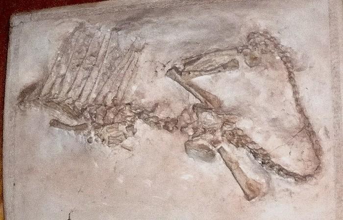 Dimetrodon-juvenile-