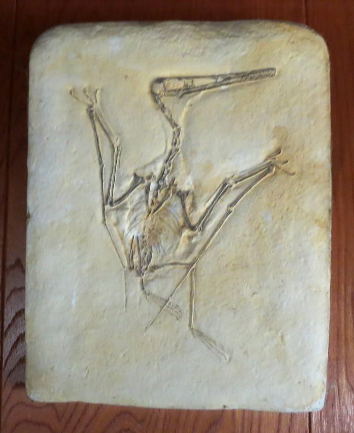 Pterodactylus skeleton