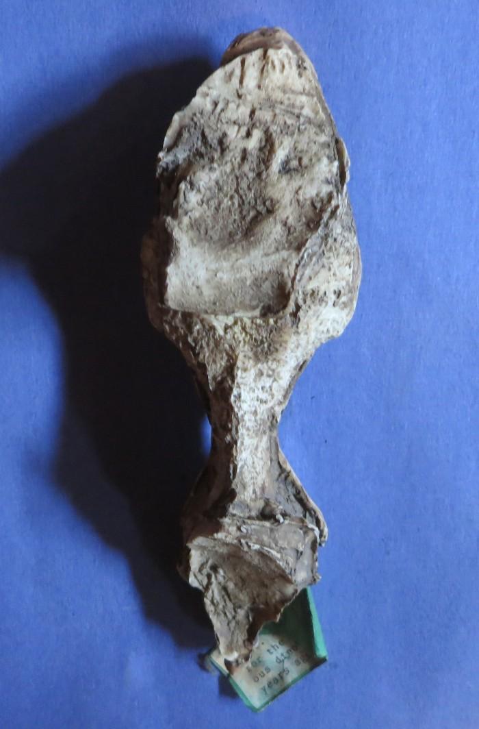 Tyrannosaurus endocast