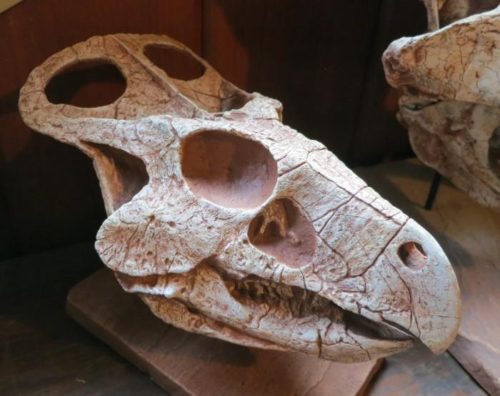 Protoceratops juvenile skull