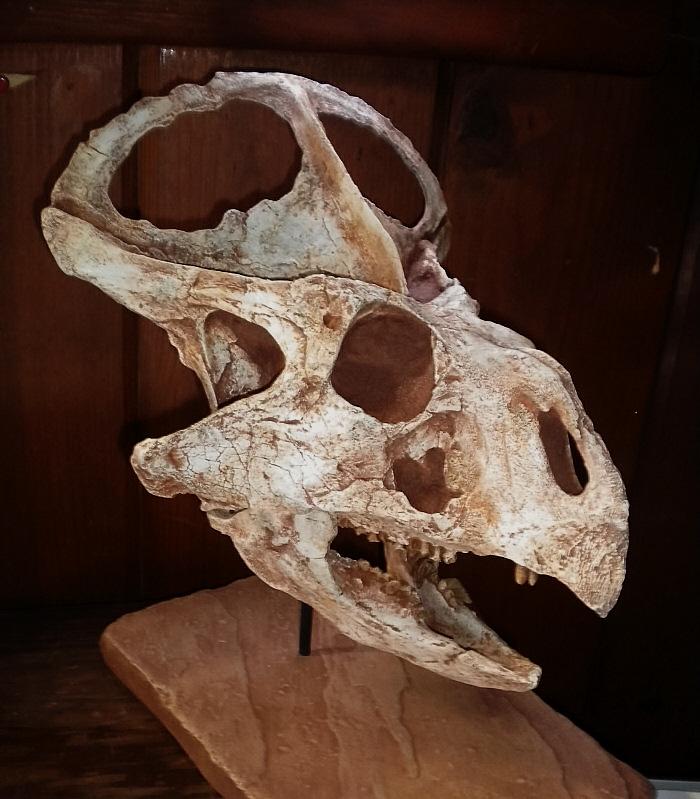 Protoceratops-skull6