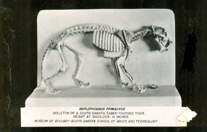 Hoplophoneus skeleton