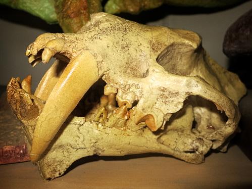 Hoplophoneus skull