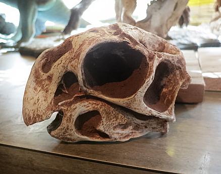 Conchoraptor skull