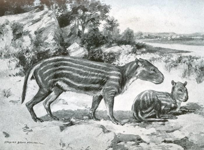 Merycoidodon restoration
