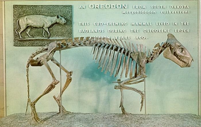 Oreodont-